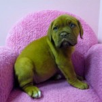Our favorite French Mastiff, Clover. Photo courtesy of Furry Babies Inc.